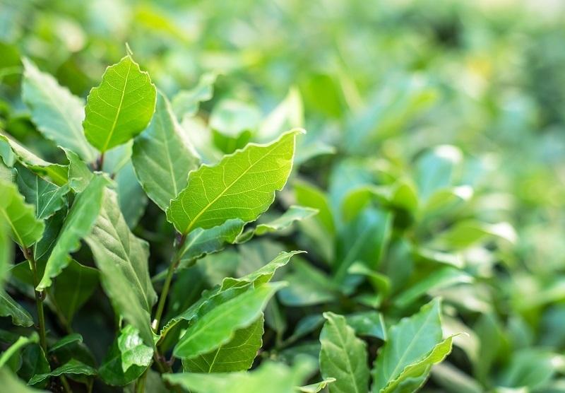 foglie della pianta di alloro